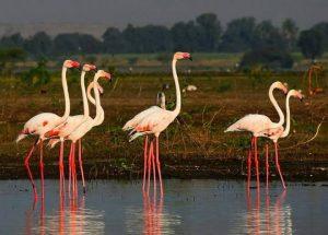 Flamingo birds at Bhigwan lake near Pune