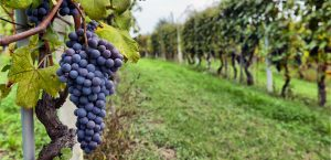 Vineyards in Satara near Jakson Inns Hotel Phaltan