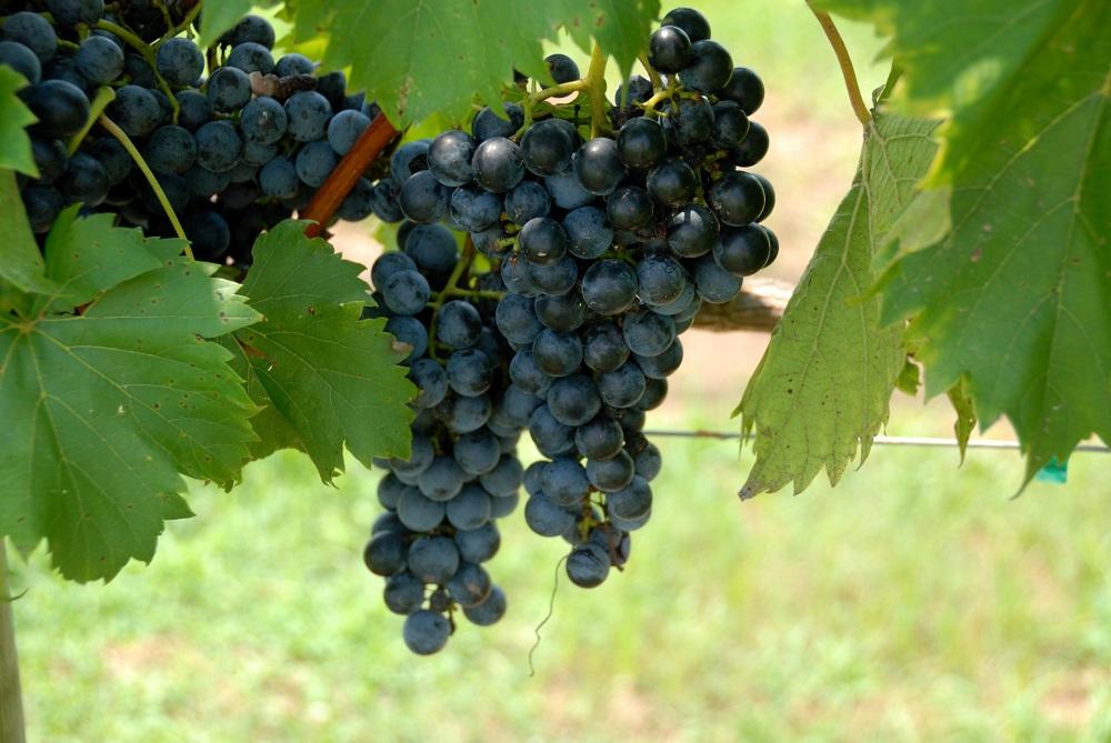 Grape Vineyard near Mumbai